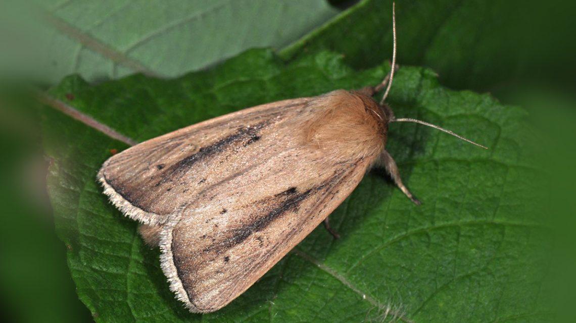 Sesamia Nonagrioides | Biology.gr